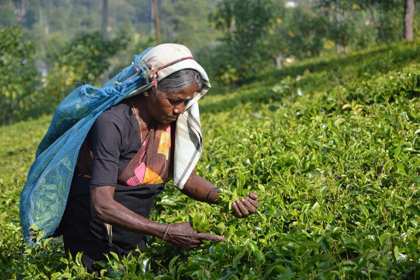 Tee-Plantage Sri Lanka