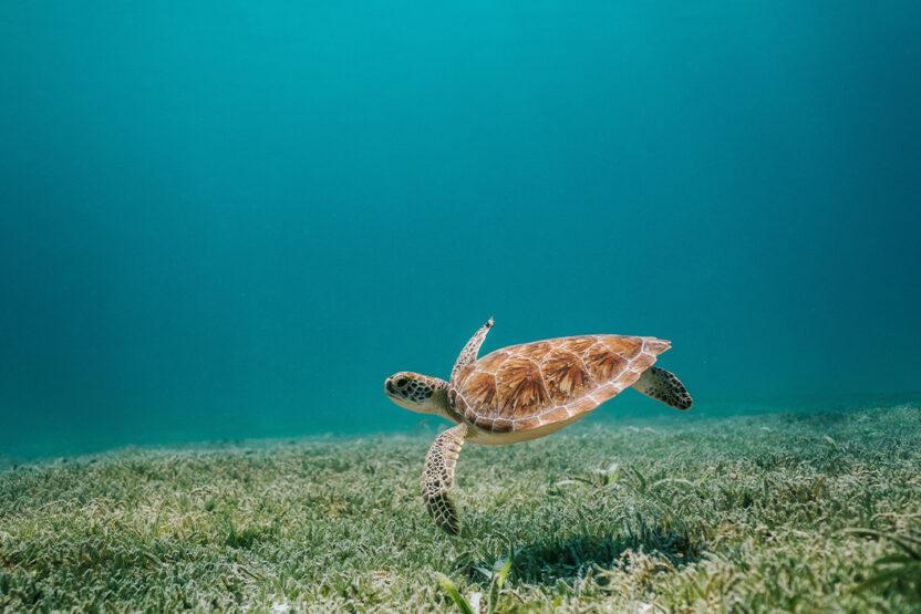 Schildkröte im Riff vor Cancún beim Schnorcheln entdecken