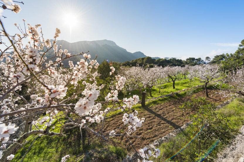 Mandelblütenzeit auf Mallorca